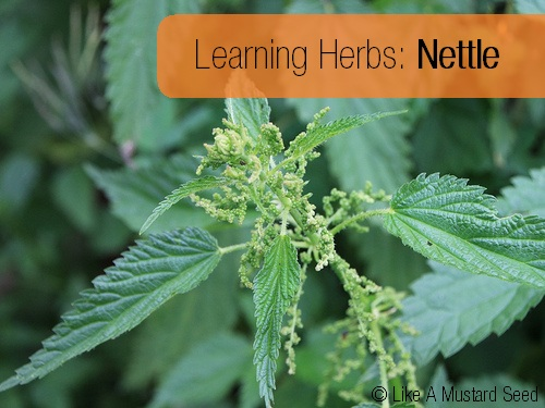 Learning Herbs: Nettles