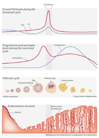 Pics Photos - Menstrual Cycle Chart Pdf Menstrual Cycle Phases ...
